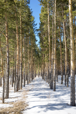 artificially: Reforestation. Artificially planted pine forest. Novosibirsk oblast, Siberia, Russia