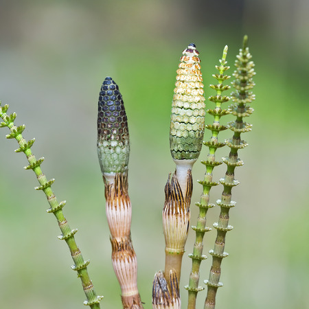 Plant Horsetail or common Horsetail ( lat. Equisetum arvense ). The spore shoots