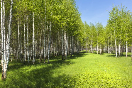 Deciduous tree Birch ( lat. Betula ). Young birch grove with spring foliage