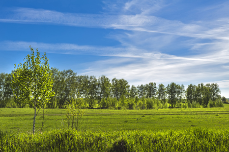 Spring landscape with a young birch grove. Novosibirsk oblast, Siberia, Russia Stock Photo
