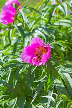 apis: Medicinal plant Marin root or peony (lat. Paeonia anomala ). A bee collects nectar from flower