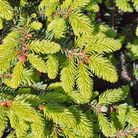 Decorative dwarf tree larch Nidiformis ( lat. Picea abies Nidiformis). Branches from spring growth of needles closeup
