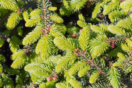 larch tree: Decorative dwarf tree larch Nidiformis ( lat. Picea abies Nidiformis). Branches from spring growth of needles closeup