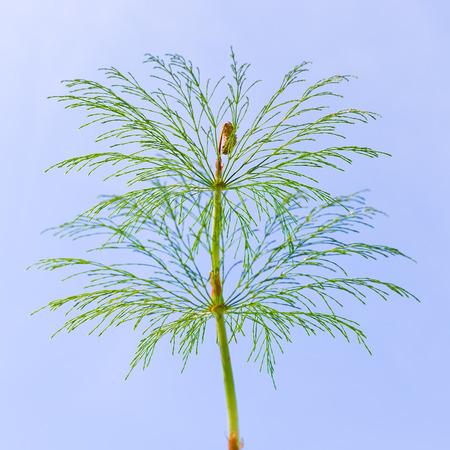 Horsetail (lat. Equisetum sylvaticum). Perennial herb