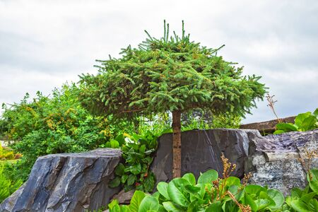 The territory of the Central Siberian Botanical garden, Novosibirsk, Siberia, Russia - June 25, 2017: Picea with a molded crown among natural stone