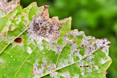 Sheet grapes affected by fungal disease, downy Mildew, false mildew ( Plasmopara viticola ) 스톡 콘텐츠