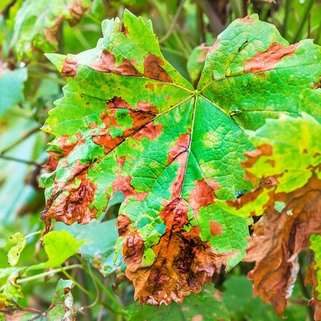 fungal disease: Sheet grapes affected by fungal disease, downy Mildew, false mildew ( Plasmopara viticola ) Stock Photo