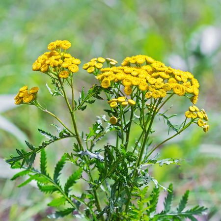 Wild medicinal plant tansy (lat. Tanacetum vulgare). Flowering plant
