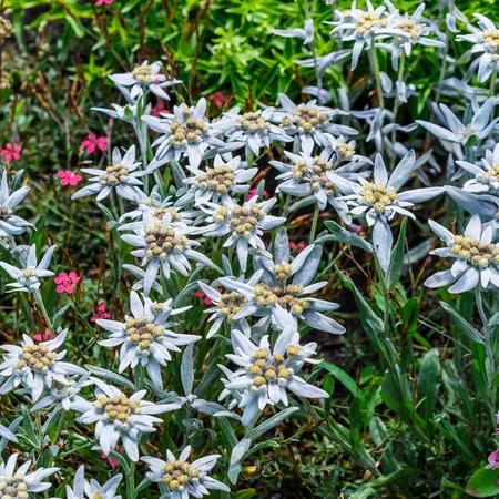 Edelweiss Alpine or Leontopodium ( lat. Leontopodium ). The flowering tree