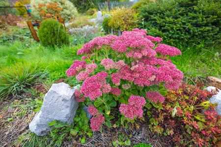 Decorative garden plant Sedum prominent (lat. Sedum spectabile). Autumn flowering in Siberia
