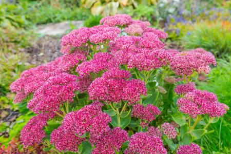 Decorative garden plant Sedum prominent (lat. Sedum spectabile). Autumn flowering in Siberia