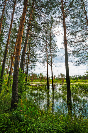 Flooded pine forest. Novosibirsk region, Western Siberia, Russia