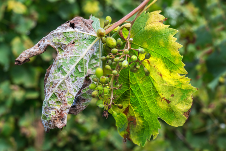 A dangerous disease of grape Mildew - downy mildew ( lat. Of plasmopara viticola ). Leaves and berries of grapes, due to the active reproduction of the fungus, covered with moldy bloom