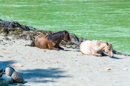 Two small Altai horses lying resting on the sand near the river Katun. Chemalsky district, Altai Republic, southern Siberia, Russia