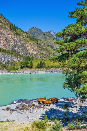 Mountain landscape with river and horses. Katun river, Chemalsky district, Altai Republic, southern Siberia, Russia