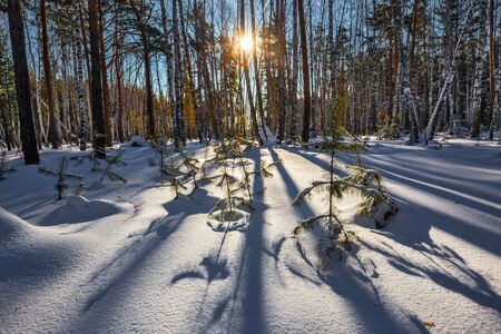 Snow-covered January forest. Western Siberia, Russia