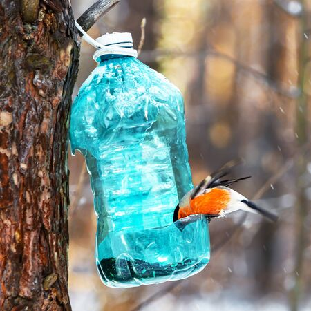 The bullfinch bird sits in a feeder made from a plastic bottle in the winter forest. Western Siberia, Russia