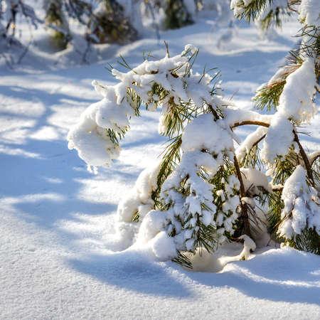 Winter landscape with snow-covered pines. Western Siberia, Russia Archivio Fotografico