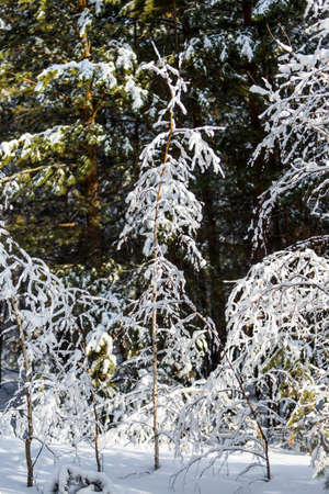 Russian winter, snow-covered forest. Western Siberia, Russia