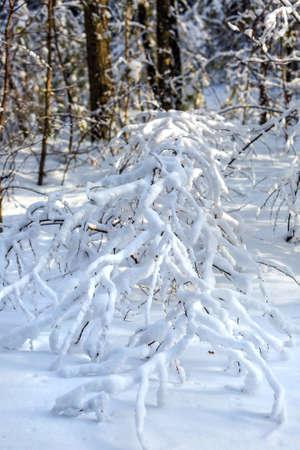Tree branches covered with snow. Western Siberia, Russia Archivio Fotografico