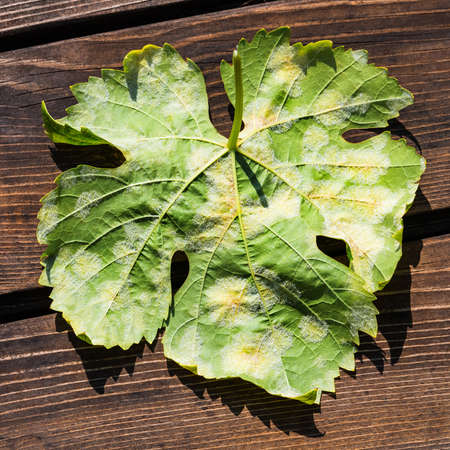 A dangerous disease of grape Mildew - downy mildew (lat. Of plasmopara viticola). Grape leaves, due to the active reproduction of the fungus, covered with moldy plaque