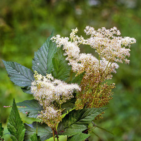 Labaznik vyazolistny (Lat. Filipendula ulmaria L. Maxim.) Is a medicinal perennial herbaceous plant of the Pink family (Rosaceae). A plant in a natural growing environment. Western Siberia, Russia