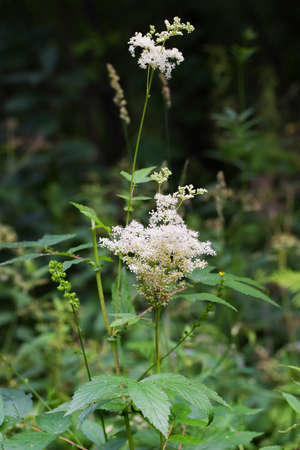 Labaznik vyazolistny (Lat. Filipendula ulmaria L. Maxim.) Is a medicinal perennial herbaceous plant of the Pink family (Rosaceae). A plant in a natural growing environment. Western Siberia, Russia Stock Photo