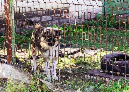 pictured in the photo big white and brown beautiful the dog behind the fence 스톡 콘텐츠