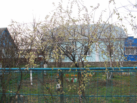 pictured in the photo willow twigs on the tree bloom spring, , the image does not focus and blurred Banque d'images