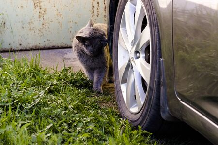 One cat gray sit next to car wheel in parking lot