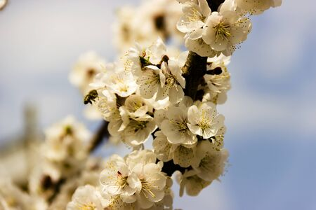 pictured in the photo White flowers and buds of an apricot tree in spring blossom, selective focus