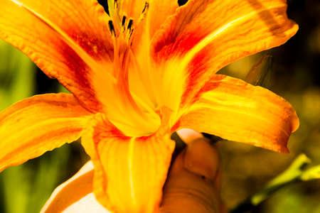 Bud of flowering orange lily