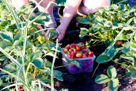 man picking strawberries in the garden