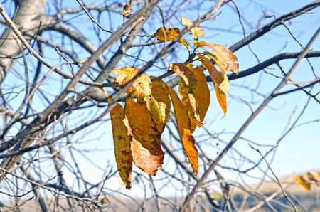Autumn, yellow leaves on a tree. On the background of blue sky. Banco de Imagens