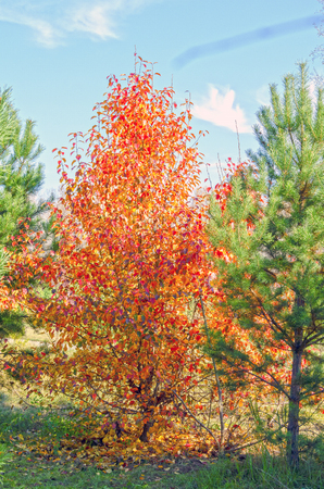 Bright, autumn colors. Beautiful, autumn forest. Leaves are red and yellow. Russia.