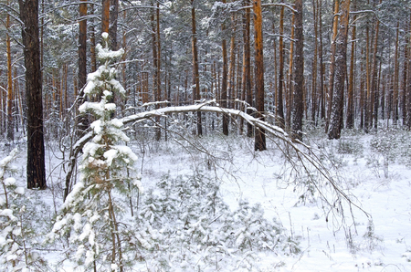Pine (fir) branch under the snow. Winter coniferous forest in the evening.