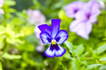 Ticolor violet flower