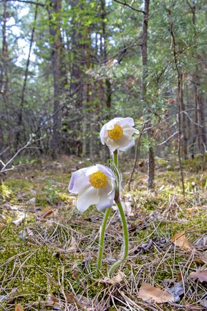 Siberian primroses. The first spring flowers in the forest, Russia, Khakassia (sleep-grass). Listed in the red book