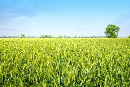 wheat fields: The rye starts to grow ripe in the middle of summer Stock Photo