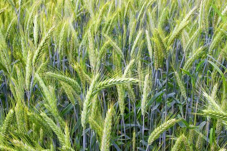 The rye starts to grow ripe in the middle of summer Stock Photo