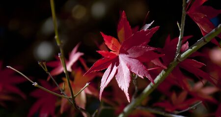 red maple leaf: Red maple leaf natural outdoor sunlight Plant