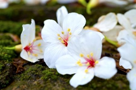 Taiwan flower white wood Tung blossom black yellow outdoor red green Standard-Bild