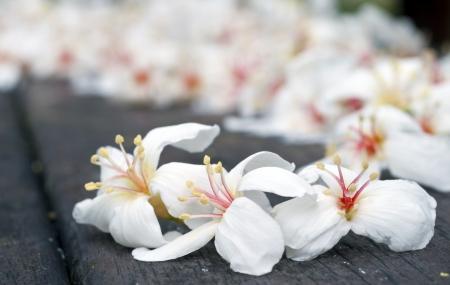 Taiwan Blume aus weißem Holz Tung Blüte schwarz gelb rot im Freien Standard-Bild - 14536235