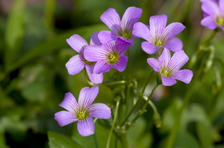 oxalis: Taiwan asian plant outdoor leaf flower green natural park Background Oxalis purple yellow Stock Photo
