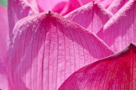 Taiwan asian outdoor plant natural park Background flower red pink lotus closeup Standard-Bild