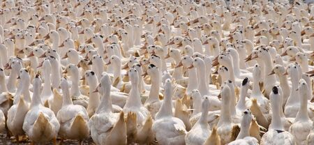 collected: Duck group animal Background duckling collected together outdoor sunlight yellow white