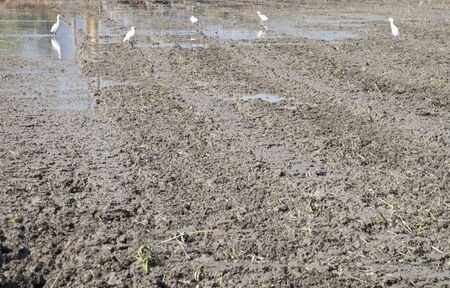 have more Snowy Egret Agricultural land photo