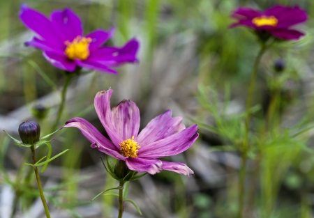 wither: Cosmos purple bloom and wither in Taiwan Asia Stock Photo