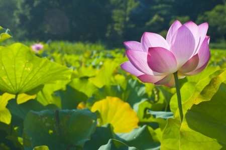 pink Lotus flower and green leaf onder the sunlight