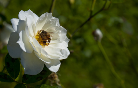 two bees on the white rose in the sunlight photo